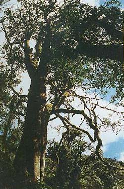 ältester Teebaum