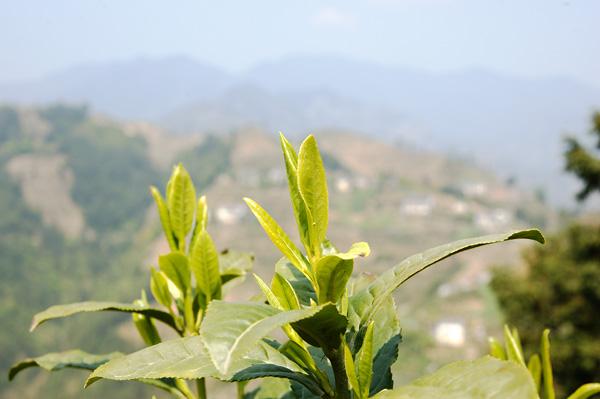 Teeblätter